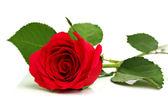 Röd ros på vit白地に赤いバラ — Stockfoto