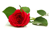 Red rose on white — Stock Photo