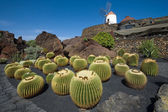 Cactus garden, Lanzarote — Stock Photo