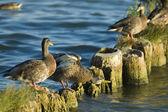 Ducks on the breakwater — Stock Photo