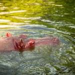 Hippo — Stock Photo