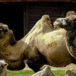 Camels — Stock Photo #29692889