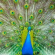 colorful peacock — Stock Photo