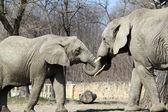 Indian elephants in zoo — Stock Photo