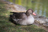 Duck  in English garden Munich — Stock Photo