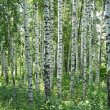 Russian birch trees in a summer forest — Stock Photo