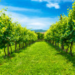 Vineyards row — Stock Photo #40833955