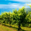 Vineyards row — Stock Photo #40834057