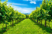 Vineyards row — Stock Photo