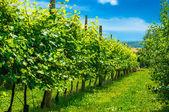 Vineyards row — Stock Photo