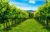 Vineyards row — Stockfoto