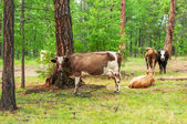 Cows  in pine forest — Stock Photo