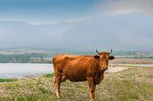 Cow ashore — Stock Photo