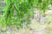 Pine branches with bokeh — Stock Photo