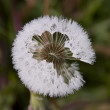 Stock Photo: Dandelion fluff