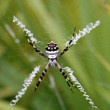 Stock Photo: Tiger spider