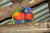 Two Lori's parakeets — Stock Photo