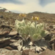 Wild flowers in patagonia desert — Stock Video