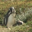 Penguin couple in Patagonia — Stock Video