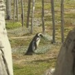 Stock Video: Walking penguins in Patagonia