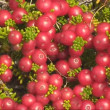 Murtilla - south american berries — Stock Video