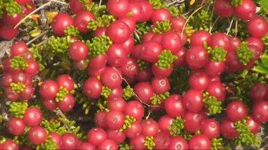 Murtilla - jagody ameryki południowej — Wideo stockowe
