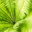 Green Fern — Stock Photo #25525815