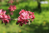 Pink flowers Apple tree — Photo