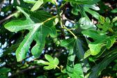 Foglie verdi e frutti sull'albero di fico — Foto Stock