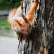 Curious furry red squirrel sitting on the tree — Stock Photo #28996335