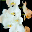 Orchids — Stock Photo #24480139