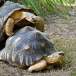 Stock Photo: Tortoise Mating