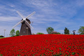 Old windmill in the north and red flower field — Stock Photo