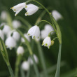 Lily of the Valley (Convallaria majalis) in a wood — Stock Photo