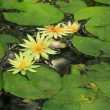 Yellow lotus blooming in the pond. — Photo