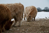 Galloway cattle. The Galloway is one of the world's longest established breeds of beef cattle, named after the Galloway region of Scotland, where it originated. — Stock Photo
