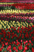 Stripes of Dutch fields with many colorful tulips — Stock Photo