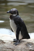 Pinguin — Photo