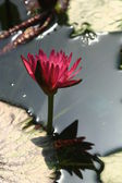 Pink water lily Nymphaea Masaniello among green leaves — ストック写真