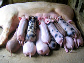 Momma pig feeding baby pigs — Stock Photo