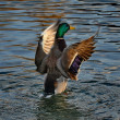Stock Photo: Mallard duck flying