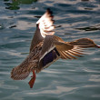 Duck flying — Stock Photo