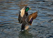 Mallard duck flying — Stock Photo