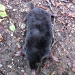 Stock Photo: Mole