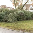 Stock Photo: Christmas tree disposal after Christmas