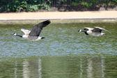 Wild geese ready to hike — Zdjęcie stockowe