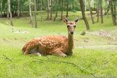 Dybowski deer — Stock Photo