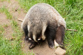Badger — Stockfoto