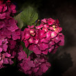 Pink Hydrangea Flowers in a Garden — Stock Photo #29751007