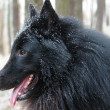 BelgiShepherd Groenendael Close-Up — Stock Photo #32643487